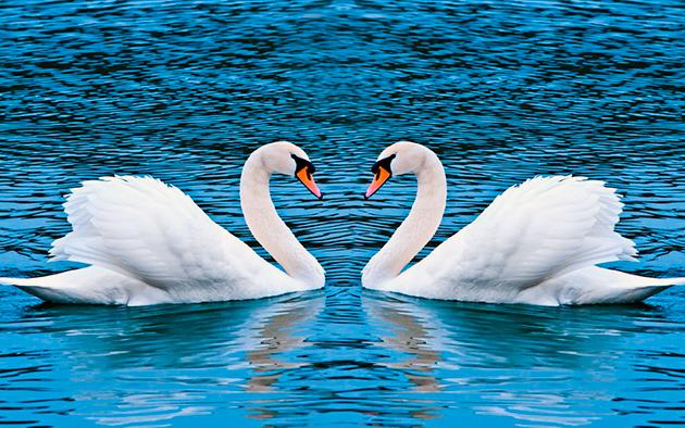 Большую часть своей жизни лебеди проводят в воде