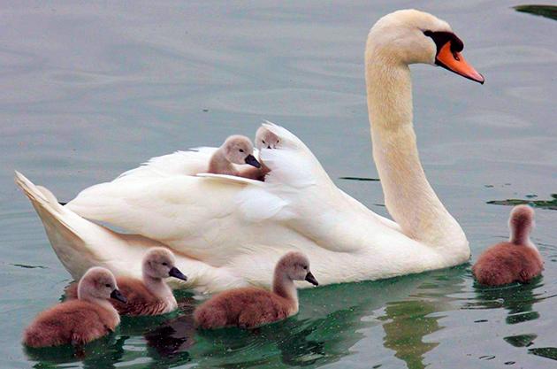 Сегодня все лебеди, за исключением малого лебедя находятся в Красной книге