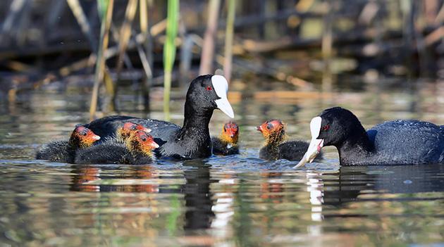 Лысуха моногамная птица — достигнув половой зрелости, она ищет себе всего лишь одного партнера