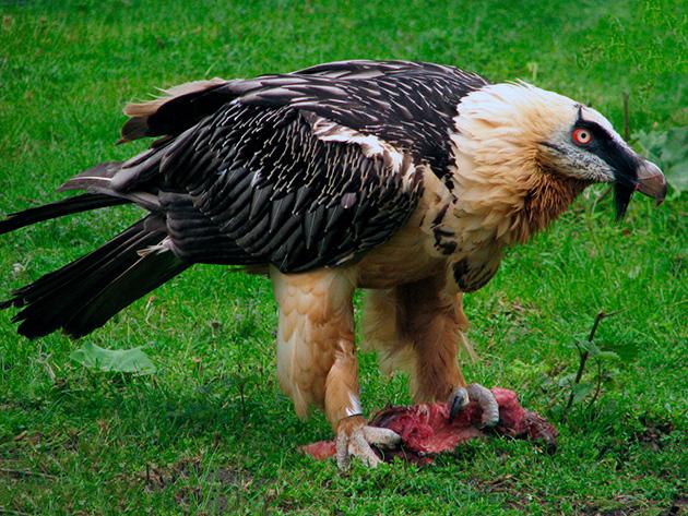 Грифы являются плотоядными птицами и питаются падалью