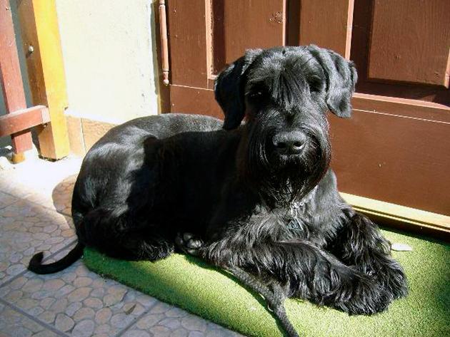 Ризеншнауцер обладает предрасположенность к некоторым видам заболеваний, поэтому периодически показывайте его ветеринару