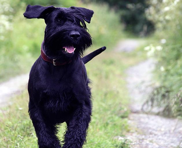 Ризеншнауцеры — доброжелательные и активные собаки со спокойной психикой