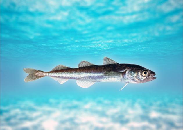 Рыба сайка