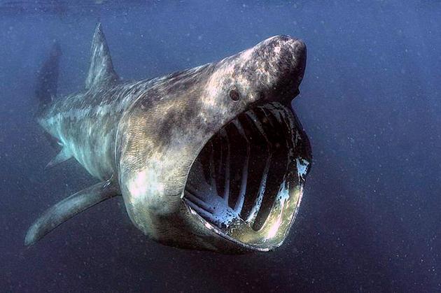Продолжительность жизни акул сильно разнится в зависимости от их вида