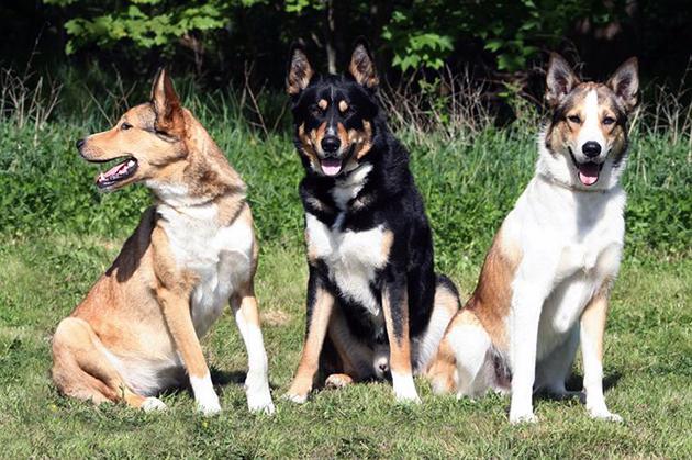 Восточносибирские лайки — это достаточно крупные собаки, весом до 35 килограмм