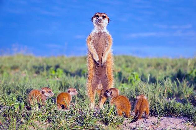 Сурикаты учат охоте своих щенят с самого раннего возраста
