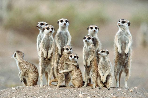 Сурикаты живут колониями, численность до 30 особей, реже до 60