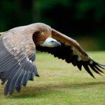 Птица гриф (сип)