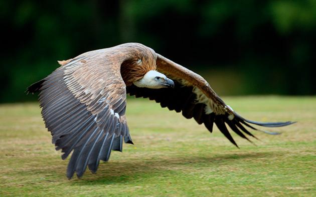 Птица гриф