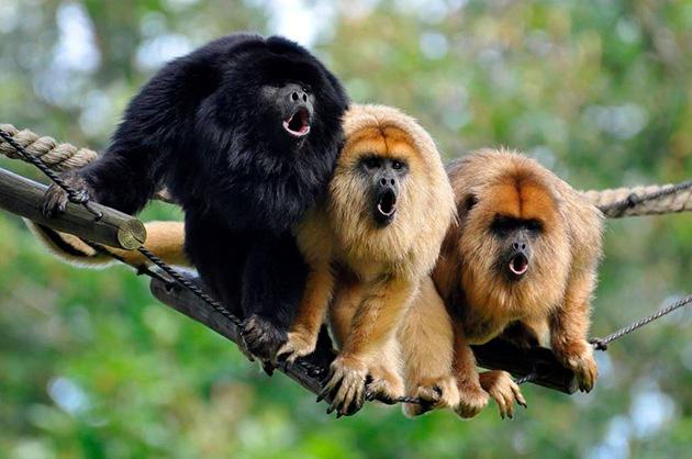 У обезьян хватает врагов в природе, но тем не менее самый главный враг для низ — это человек
