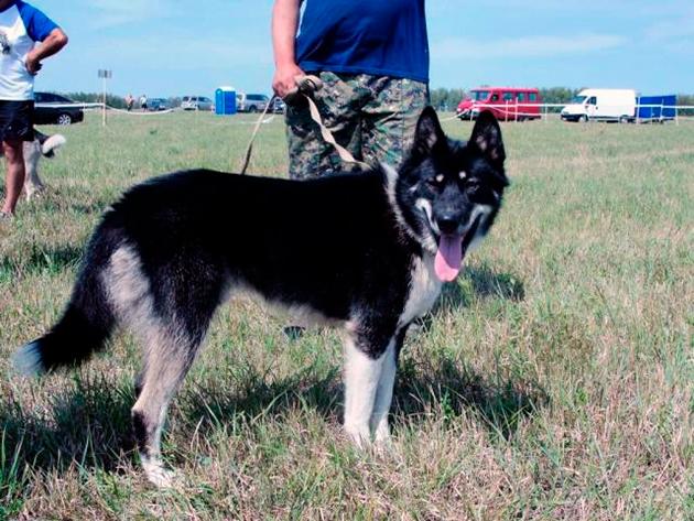 Владельцы восточносибирской лайки замечают, что собака нуждается в постоянных физических нагрузках