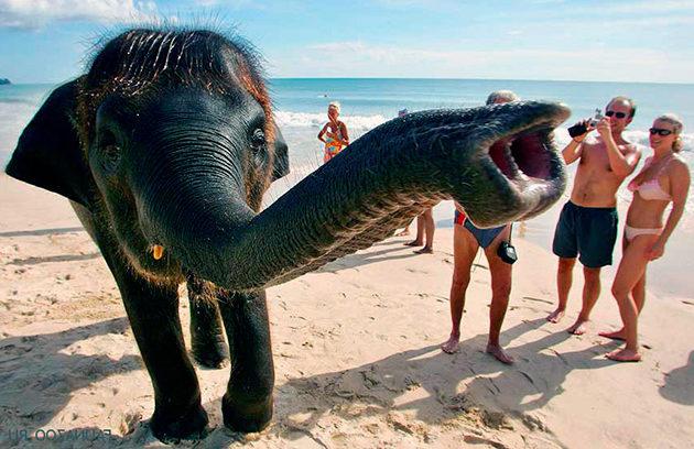 Так же хобот слону помогает чувствовать запахи