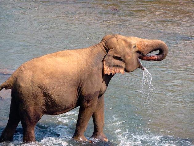 С помощью хобота, в день, слон способен выпивать до 150 литров воды