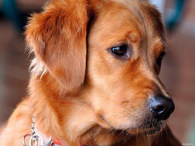 У золотистых ретриверов есть ряд родовых пороков, поэтому периодически необходимо обследоваться в ветеринарной клинике