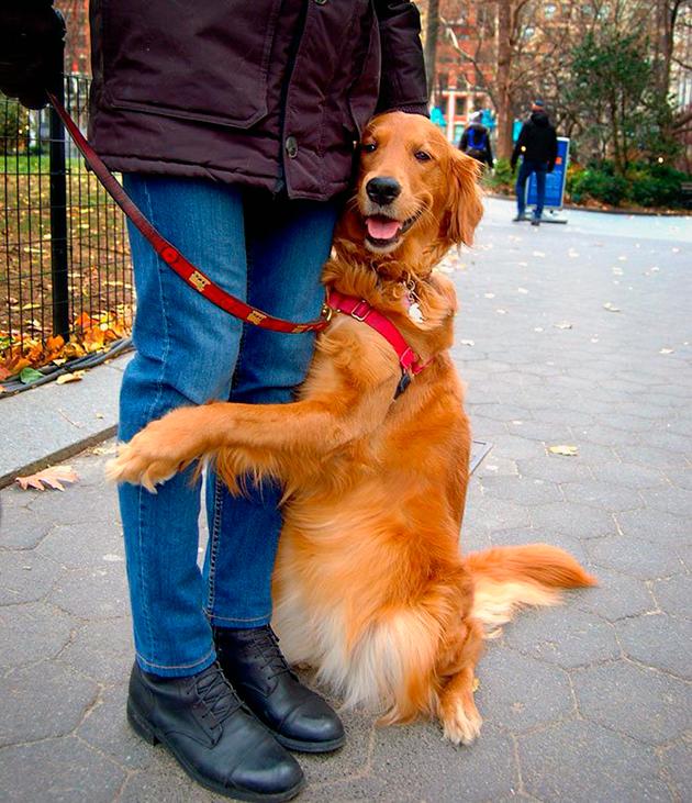 Золотистый ретривер — очень добрые и веселые собаки