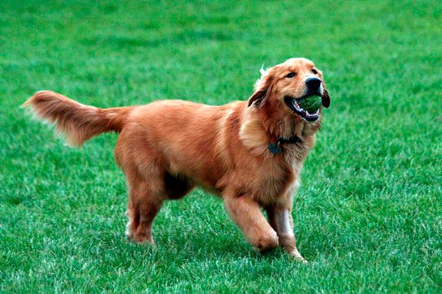 Дрессировка золотистого ретривера ничем не отличается от дрессировки других собак