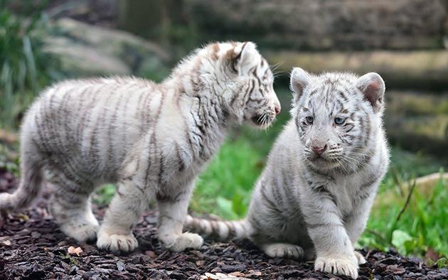 Брачный период у белых тигров длиться с декабря по январь
