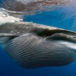 Усатые или беззубые киты