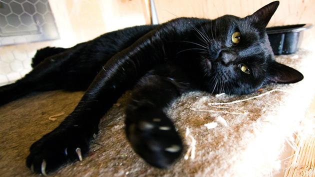 Кошки бомбейской породы обладают спокойным характером и устойчивой психикой