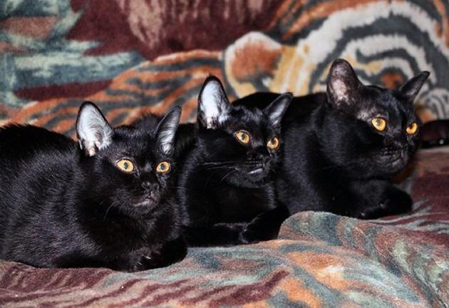 Отзывы о бомбейских кошках от владельцев поступают только положительные