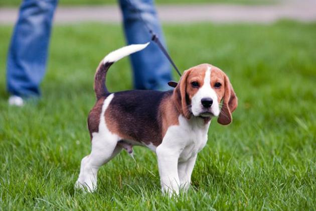 При покупке эстонской гончей обратите внимание на активность щенка, а так же проверьте все документы