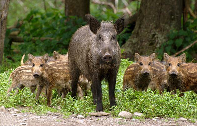Основную ценность при охоте на кабана представляет его шкура и мясо