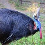 Птица казуар