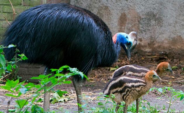Самка казуара откладывает от 3 до 8 яиц