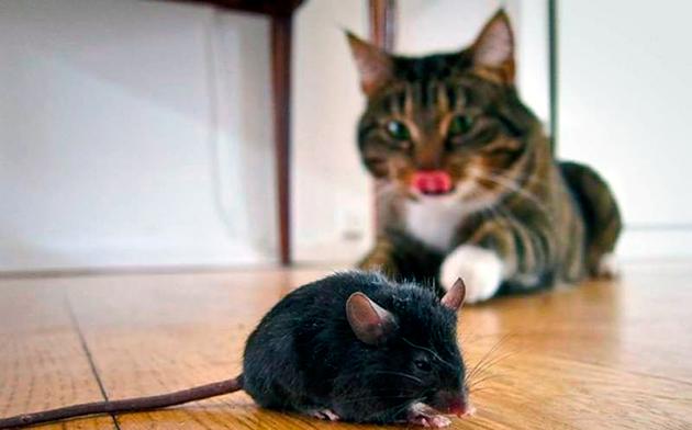 Современные кошки, если будут сыты — не станут есть мышей