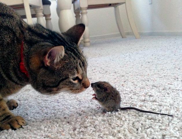 Опасность мышей для кошки может заключаться в том, что грызуны являются переносчиками опасных болезней