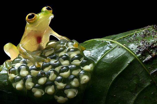 В тропиках лягушки размножаются в сезон дождей, а в умеренных широтах – весной
