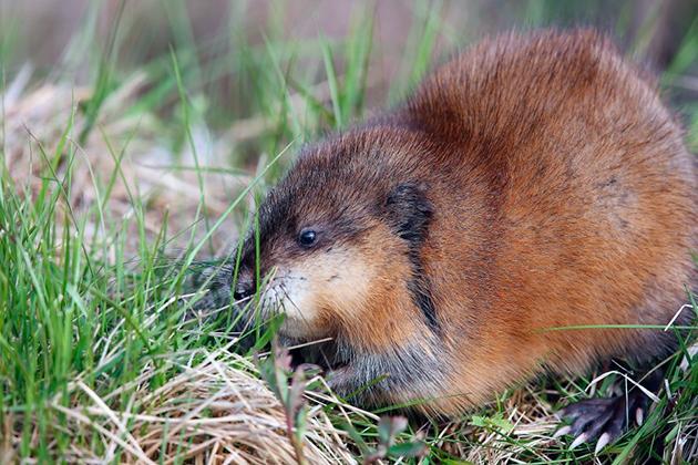 Мускусные крысы большую часть времени сохраняют активность