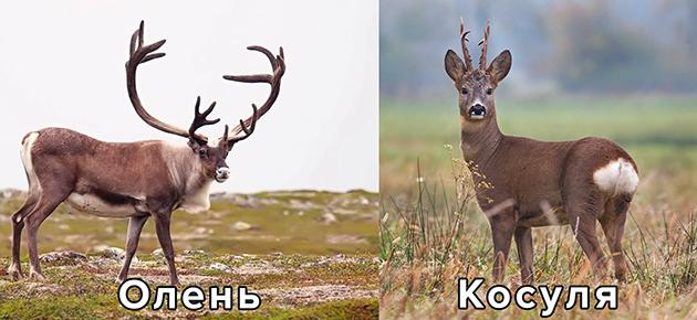 Отличие от лося и косули