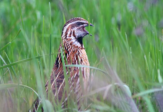 У перепелов достаточно много врагов, поэтому эта птица очень осторожная