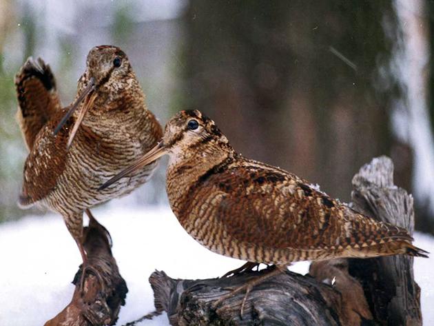 Во многих странах охота на вальдшнепа запрещена