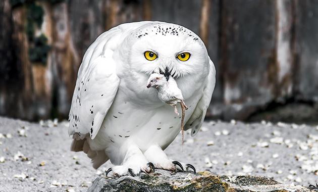 Мелкие грызуны основной рацион полярных сов