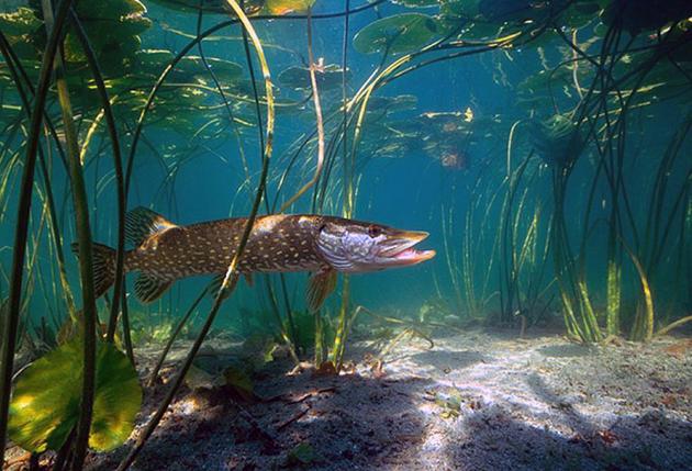 Основной рацион щуки – рыбы поменьше, но иногда щука может нападать на птиц плавающих на поверхности воды