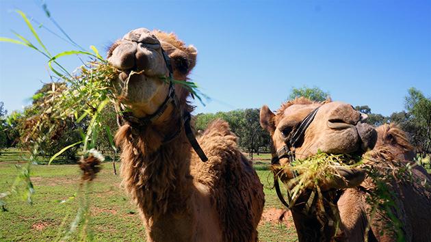 Верблюды питаются растительной пищей