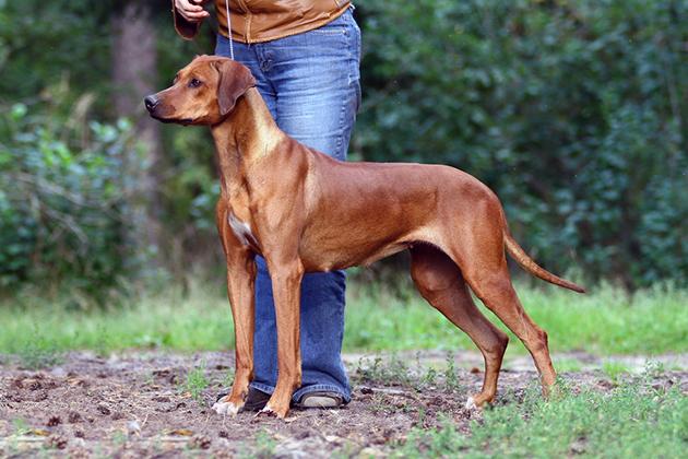 Родезийский риджбек — очень активная собака и требует ежедневных физических нагрузок