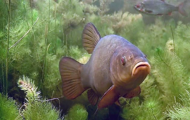 Рыбу линь, можно разделить на 4 вида
