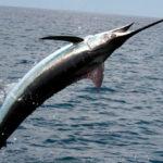Меч-рыба или меченос