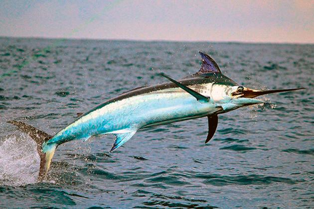 При рождение рыба-меч имеет круглую голову, но со временем она вытягивается становится похожая на меч
