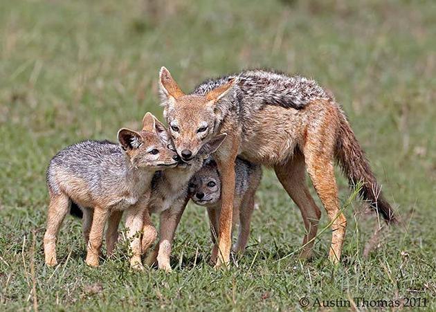 Перед родами самка шакала самостоятельно роет нору для своего потомства