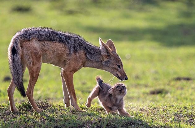 Эфиопский шакал – единственный подвид, численность которого вызывает опасение
