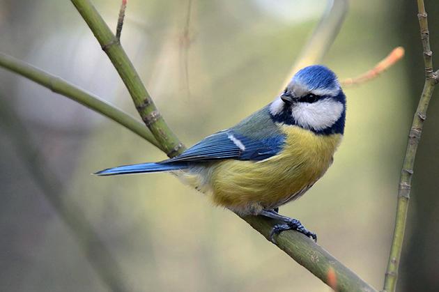 Самки синицы имеют менее яркую окраску, чем самцы