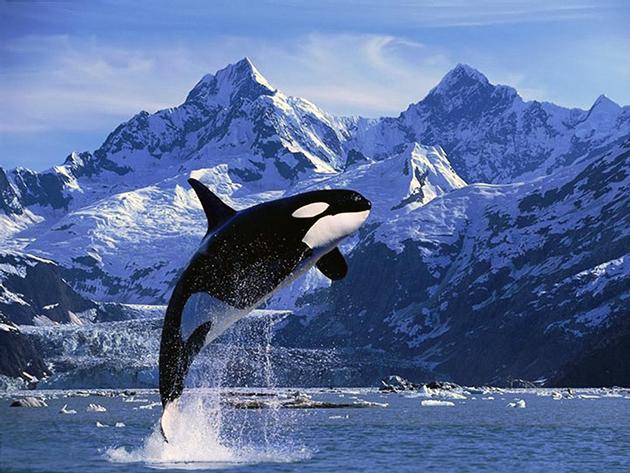 Косатка (лат. Orcinus orca)