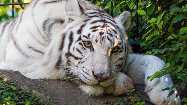 В дикой природе белые тигры живут очень мало, так как им тяжело прокормить себя ввиду заметной окраски