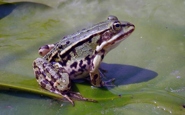 Ученные считают, что большинство лягушек живут не более десяти лет, но отдельные виды доживают и до 30 лет