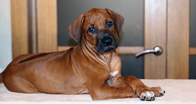 Содержание родезийского риджбека ничем не отличается содержания других собак