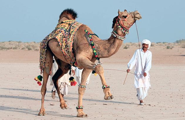 Верблюд одомашнен и активно помогает человеку в быту